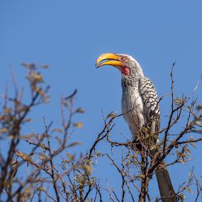 Nosey by Pax Bell - Animals Birds ( yellow hornbill )