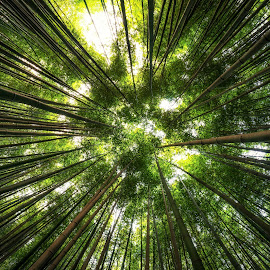 Piercing the Sky by Aaron Choi - Nature Up Close Trees & Bushes ( national park, bamboo, nature, shoot, trees, south, forest, woods, korea, damyang, korean )