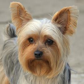 Mr. Doobie by Fran Juhasz-Mckitrick - Animals - Dogs Portraits (  )