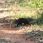 Crab-eating Mongoose