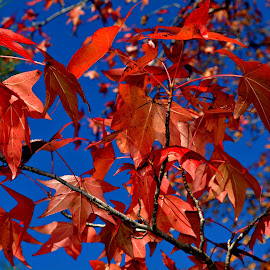 by Cathy Hoyt - Nature Up Close Trees & Bushes ( fall colors, autumn leaves, autumn, fall, trees )