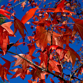 red leaves in autumn fall.jpg