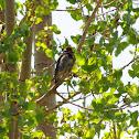 Red-naped Sapsucker ~ Female