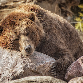 bear hug by Thomas Alexander - Animals Other Mammals ( bear, hug, nikond7100, sleepingbear imagewear, columbus zoo )