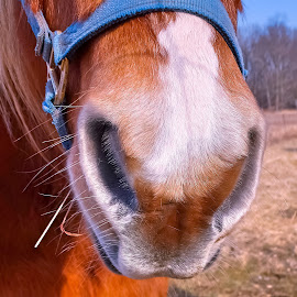 The Nose, Knows by Sue Delia - Animals Horses ( horse, nose, draft horse,  )