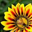 by Saptarshi Datta - Flowers Single Flower ( nature, bee, yellow, flower,  )