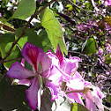 Árbol Orquídea, Purple orchid tree