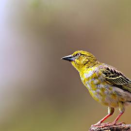 Early bird..... by Pieter J de Villiers - Animals Birds ( early morning ngwenya lodge, animals, weavers, female, southern masked-weaver, birds )