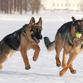 Ball chase by Mia Ikonen - Animals - Dogs Playing ( happy, finland, fun, german shepherd, running )