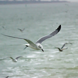 Fort Sumter Seagulls by Kevin Wright - Novices Only Wildlife ( bird, fort sumter, ferry, wildlife, seagulls, patriot's point, south carolina )
