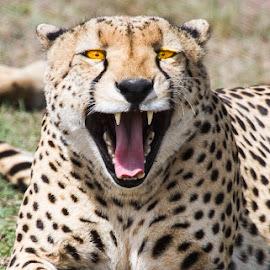 by Nigel Atkins - Animals Lions, Tigers & Big Cats