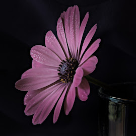 Towards the light........ by Jacquie Woodburn - Novices Only Macro ( macro, lighting, nature, purple, petals, daisy, flower )