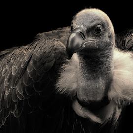 The Great Indian Vulture by Gaurav Bathla - Novices Only Wildlife ( bird, predator, vulture, indian, grey )
