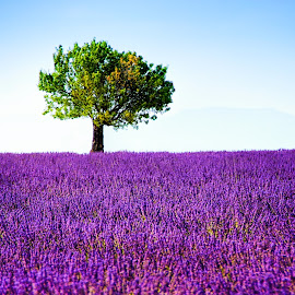 Tree and lavender field by Tomas Vocelka - Landscapes Prairies, Meadows & Fields ( field, provence, smell, fragrance, tree, violet, quiet, lavender, valensole, lonely tree )