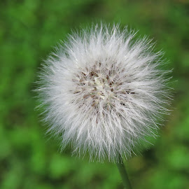 A Ball Of Fluff by Cindy Cooper Houser - Nature Up Close Leaves & Grasses ( fluffy, dried, weed, fluff, flower )