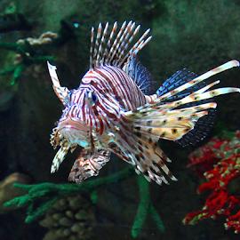 by Cacang Effendi - Animals Fish ( cattery, animals, chandra, fish, aquarium )