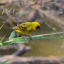 Village Weaver (breeding male)