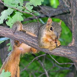 Enjoying Lunch by Luanne Bullard Everden - Animals Other Mammals ( mammals, animals, squirrels, trees, acorns )