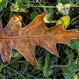 Frozen Leaf by Ciddi Biri - Nature Up Close Leaves & Grasses ( yaprak, don, glazed frost, buz, frost, buzlu, leaf, frozen )