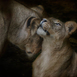 brief touch of a mother by Aya de Ruiter - Animals Lions, Tigers & Big Cats ( leeuwen, lioness, welp, leeuwin, cub )