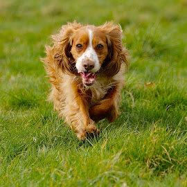 by James Blyth Currie - Animals - Dogs Running ( cockerspaniel, canon7d, london, canon70-200mm, dog, running )