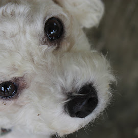 Poodle Close Up by Kaye Petersen - Animals - Dogs Portraits ( poodle, white, dog, close-up, eyes,  )