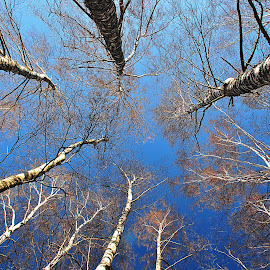Birches by Eugenija Seinauskiene - Nature Up Close Trees & Bushes ( birch, sky, nature, tree )