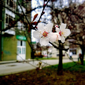 Nokia Lumia 920 by Zoran Stričević - Flowers Tree Blossoms ( ##### )