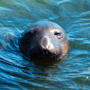 Elephant Seal (mixed population)