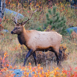 Autumn Stroll in Rocky Mountain National Park by Jennifer McWhirt - Animals Other Mammals ( other mammals, animals, photographybyjenmcwhirt.com, autumn, elk, fall, colorado, wildlife, rocky mountain national park )