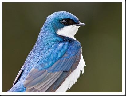 TreeSwallow-1024