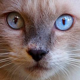 Shem by Gary Salcedo - Animals - Cats Portraits ( mammals, macro, animals, cat, nature,  )