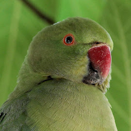 parakeet by Niraj Jha - Animals Birds