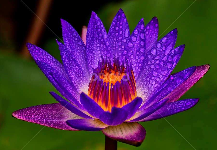 Glowing Colors by Charliemagne Unggay - Nature Up Close Flowers - 2011-2013 ( water drops, lily, nature, colors, flower )