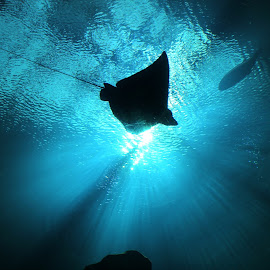 stingray by Samy Ayoub - Animals Fish ( water, lights, blue, fish, dark, beam, ocean, atlanta, black, stingray )