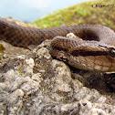 Himalayan Pit Viper