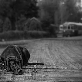 Abandoned by Jukka Pinonummi - Animals - Dogs Portraits ( dane, great, tree, wood, autumn, sad, white, bw, big, dog, portrait, black )