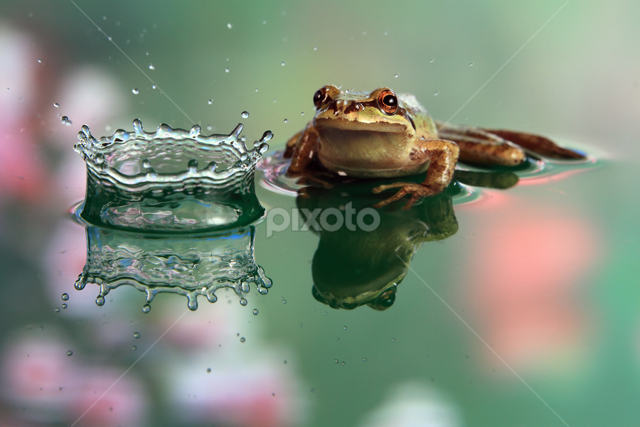 Frog observes crown water splash with reflection by William Lee - Artistic Objects Other Objects ( cool, water, reflection, splash, frog, green, crown, blur, cute, bokeh, eyes, macro, pet, action, fast, flowers, momentary, animal )