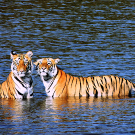 Here's Looking at You by Tamsin Carlisle - Animals Lions, Tigers & Big Cats ( water, orange, tiger, white, lake, stripes, females, together, sisters, bathing, blue, watching, bengal tiger, india, tadoba, tigers, black, color,  )