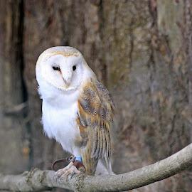 Barn Owl by Jason Davies - Animals Birds ( bird, perched, barn, white, owl, prey )
