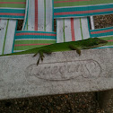 Green anole (lizard)