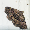 Common fungus moth