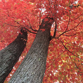 Fall at it's best. by Carrie Henderson - Nature Up Close Trees & Bushes ( fallcolors, fall, color, colorful, nature,  )