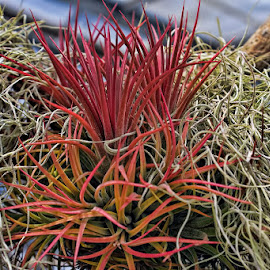 The Colors of Nature by Luanne Bullard Everden - Nature Up Close Other plants ( grasses, orange, red, nature, plants )