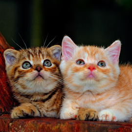 by Cacang Effendi - Animals - Cats Kittens ( cats, kitten, cattery, chandra, #scottishfoldphoto, animal )