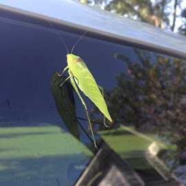 Grasshopper on Glass by Jacki Barber - Novices Only Wildlife ( nature, novice, reflections, wildlife, insects,  )