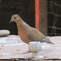 Ground Dove (Zenaida Dove)