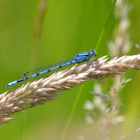 Feeling Blue by Neil Hannam - Animals Insects & Spiders ( dragon fly, nature, insect, dragonfly, dragonflies,  )