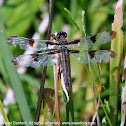 Twelve-spotted Skimmer dragonfly (female)