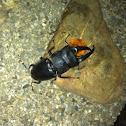 Palawan stag beetle